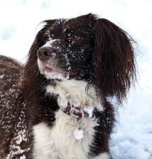 Poppy in the snow 2010